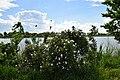 Кущ квітучої шипшини (Rosa sp.) у Нижньодністровському НПП.jpg