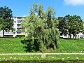 Лакучая ива - panoramio (1).jpg
