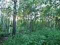 Лесополоса в купчино - panoramio (6).jpg