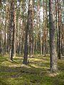 Ліс в Поліському заповіднику.jpg