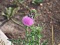 Метелик в Донецькому ботанічному саду.jpg
