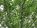 Мигдаль. Хорольський ботанічний сад.jpg