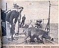Природа и люди 1915 Броненосный поросенок.jpg