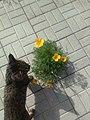 Растение рода Эшшольция с кошкой. В России, выросло в тротуарной плитке 2.jpg