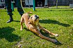 Собаки НГУ 5364 (19328580826).jpg