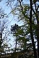 Сосна чорна у сквері Молодіжному Кам'янець-Подільському. Фото 1.jpg