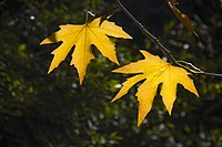 برگ زرد-پاییز-yellow leaves-falling leaves 11.jpg