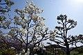 ハクモクレンの花 御所中央公園にて Yulan magnolia 2014.3.28 - panoramio.jpg