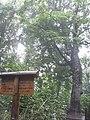 マザーツリー Mother tree - panoramio.jpg