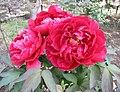 日本牡丹-太陽 Paeonia suffruticosa Taiyo -日本大阪長居植物園 Osaka Nagai Botanical Garden, Japan- (40579018820).jpg