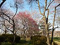 春の長命館公園 Chōmeidate Park in spring - panoramio.jpg