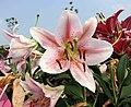 東方百合 Lilium Tiber -廣州冠勝農業公園 Guangzhou, China- (44520861574).jpg