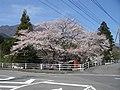 桜(富河小学校) - panoramio.jpg