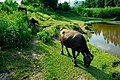 牧牛 - panoramio.jpg