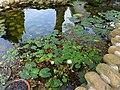 睡蓮池 Water Lily Pond - panoramio.jpg