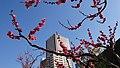 紅梅とマンションと青空と。 - panoramio.jpg
