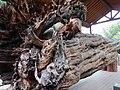 紅豆杉風倒木 The Windthrown Taiwan Yew - panoramio.jpg