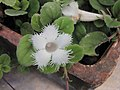 緞花蔓 Alsobia dianthiflora -牛津大學植物園 Oxford Botanic Garden- (9237449829).jpg
