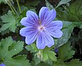 老鸛草屬 Geranium Sabani Blue -匈牙利 Tihany, Hungary- (27711432412).jpg