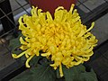 菊花-毛刺型 Chrysanthemum morifolium Thorns-series -中山小欖菊花會 Xiaolan Chrysanthemum Show, China- (9213340289).jpg