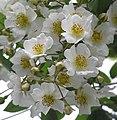 野薔薇 Rosa multiflora -台北植物園 Taipei Botanical Garden- (9237473493).jpg