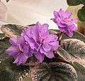 非洲紫羅蘭 Saintpaulia Northern Attitude -香港花展 Hong Kong Flower Show- (25749330760).jpg