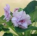 非洲紫羅蘭 Saintpaulia Untamed Heart Sport -香港北區花鳥蟲魚展 North District Flower Show, Hong Kong- (24149103445).jpg