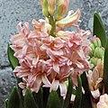 風信子 Hyacinthus orientalis Gipsy Queen -香港花展 Hong Kong Flower Show- (9193444154).jpg