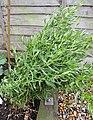 -2020-06-06 Tarragon, (Artemisia dracunculus), Trimingham.JPG