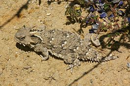 09-036 Horned Lizard (Phyrnosoma coronatum) (3481417849).jpg