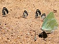 1 African Migrant (Catopsilia florella), 2 White-banded Babul Blues (Azanus isis) and 2 Margarita's Pierrots (Tuxentius margaritaceus) (18198047365).jpg