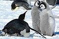 2007 Snow-Hill-Island Luyten-De-Hauwere-Emperor-Penguin-102.jpg
