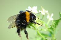 2010-04-28 (16) Erdhummel, Buff-tailes bumblebee, Bombus terrestris.JPG