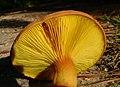 2011-07-09 Phylloporus rhodoxanthus subsp. americanus 157205.jpg