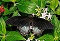 2011-08-08 14-50-49-papillon-hunawihr.jpg