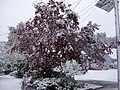 2011-10-29 13 15 00 09 A Japanese Maple along Dunmore Avenue with 1.3 inches of snow on the ground during the 2011 Halloween nor'easter in Ewing Township, Mercer County, New Jersey.jpg