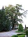 2012-08-29 ND Robinie in Mutzschen, Sachsen 02.jpg