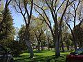 2014-05-02 13 57 21 Siberian Elm grove in the Elko City Park.JPG
