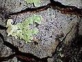 2014-06-07 Melaspilea diplasiospora (Nyl.) Müll. Arg 509328.jpg