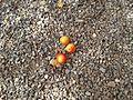 2014-07-19-Prunus domestica subsp. syriaca.jpg