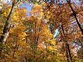 2014-10-30 13 17 15 Trees during autumn in the woodlands along the West Branch Shabakunk Creek in Ewing, New Jersey.JPG