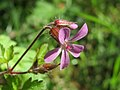 20140504Geranium robertianum.jpg