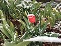 2015-04-08 07 57 52 A wet spring snow on a Tulip blossom along 11th Street in Elko, Nevada.jpg