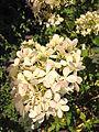 20150822 Hydrangea paniculata 1.jpg