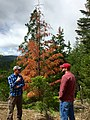 2016. Ryan Singleton (left) (Silviculturist, Confederated Tribes of Warm Springs) and Brent Oblinger (Forest Pathologist) discussing drought-related damage to Douglas-fir. Warm Springs Reservation, Oregon. (35488323891).jpg