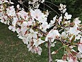 2017-04-03 15 46 16 White Flowering Cherry flowers along Scotsmore Way near Kinross Circle in the Chantilly Highlands section of Oak Hill, Fairfax County, Virginia.jpg