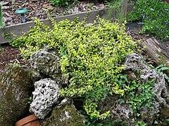 2018-05-13 (212) Euonymus (spindle) at Bichlhäusl in Frankenfels, Austria.jpg