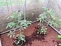 2018-06-01 (137) Solanum lycopersicum (tomato) at Bichlhäusl in Frankenfels, Austria.jpg