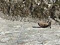 2018-06-23 14.50.57 an ibex on the steep wall of the dam of Cengino.jpg