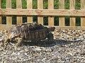2018-10-20 Galápagos tortoise (Chelonoidis), Trimingham Trosh (1).JPG